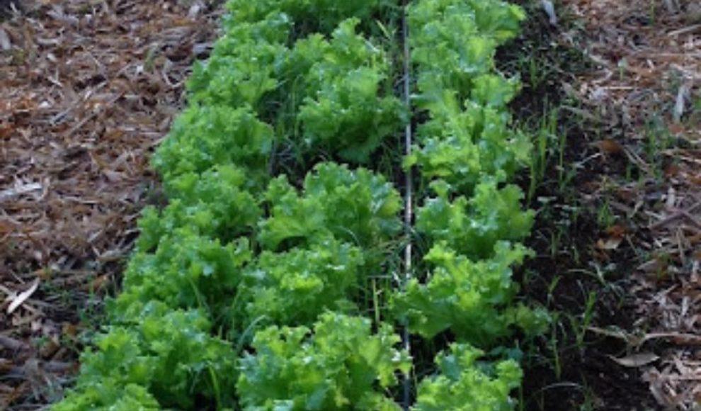 Horta solidária terá primeira colheita nesta quinta-feira e beneficiará cerca de 50 famílias